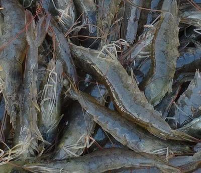 广东省珠海市金湾区南美白对虾 人工殖养 2-4钱