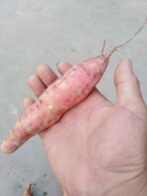 河北省唐山市滦南县烟薯25 红皮 6两~1斤