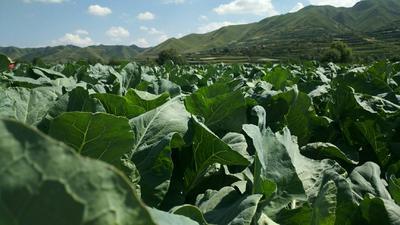 甘肃省兰州市榆中县白花菜花 适中 1~2斤 乳白色
