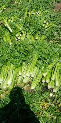 甘肃省定西市安定区西芹 60cm以上 露天种植 1.5~2.0斤