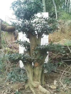 贵州省毕节市赫章县金弹子 35公分以上