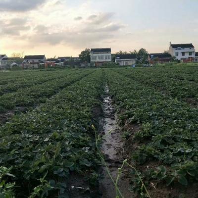 江苏省泰州市靖江市草果苗 独本苗 0.5米以下