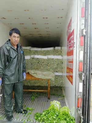 宁夏回族自治区固原市原州区西芹 55~60cm 露天种植 0.5~1.0斤