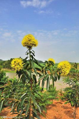 广西壮族自治区钦州市浦北县黄金熊猫树