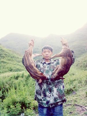 贵州省毕节市七星关区生态野猪 30-40斤 统货