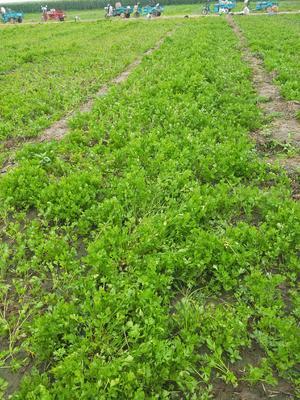 山东省淄博市高青县皇妃芹菜 40~45cm 露天种植 0.5~1.0斤