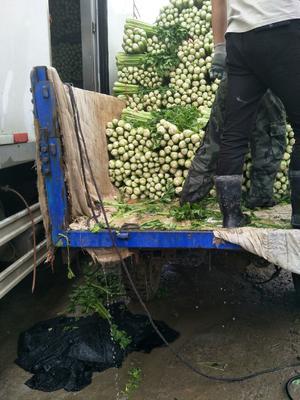 甘肃省定西市安定区西芹 60cm以上 露天种植 0.5~1.0斤