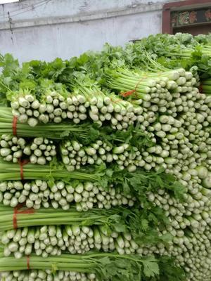 山东省济宁市金乡县法国皇后芹菜 60cm以上 大棚种植 0.5斤以下