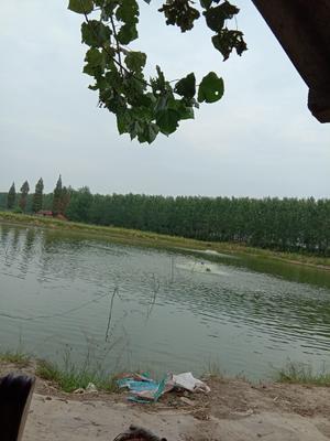 湖北省荆州市江陵县南美对虾 人工殖养 2-4钱