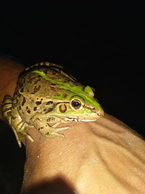这是一张关于黑斑蛙的产品图片
