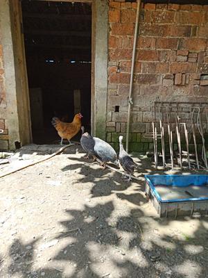 江西省上饶市横峰县灰色珍珠鸡 2-4斤