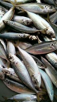 福建省泉州市石狮市巴浪鱼 野生 0.5公斤以下