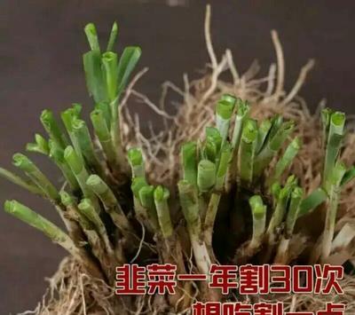 广东省湛江市徐闻县韭菜种子