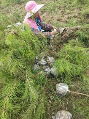 湖北省随州市曾都区湿地松容器苗