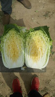 河北省保定市定州市玲珑黄白菜 3~6斤 净菜