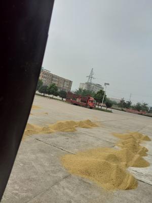 河南省信阳市商城县籼稻谷 中稻