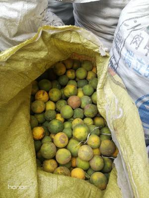 山东省泰安市岱岳区柑橘种子