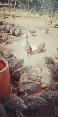 广东省茂名市高州市银斑珍珠鸡 2-4斤
