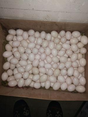 河南省漯河市召陵区美国王鸽蛋 食用 礼盒装