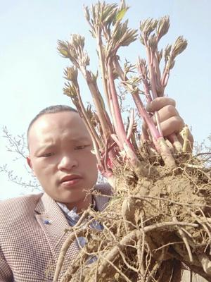 山东省菏泽市牡丹区多花芍药 20cm以上 0.5~1米