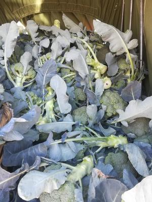 云南省大理白族自治州剑川县西兰花品种强汉 1.5~2.0斤 10~15cm