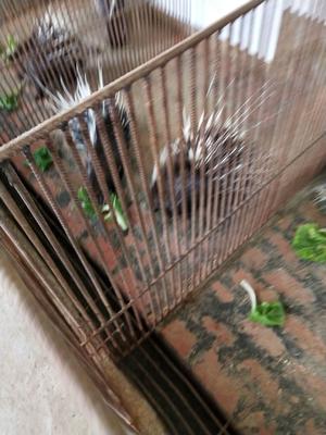 重庆涪陵区重庆豪猪 30-40斤