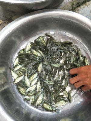 广东省广州市花都区淡水石斑 人工殖养 2.5-3公斤