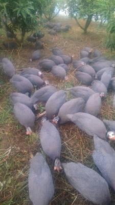 云南省文山壮族苗族自治州富宁县灰色珍珠鸡 2-4斤