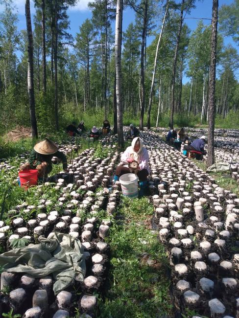 大兴安岭优质黑木耳,林下养殖,是最接近野生黑木耳的养殖价格聊城方式核桃图片