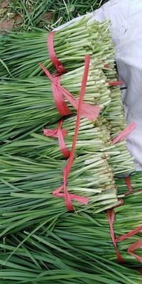 河南省焦作市孟州市平韭6号韭菜 二茬 20~30cm