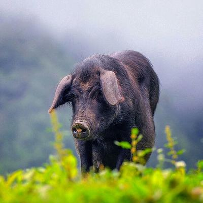 广西壮族自治区南宁市西乡塘区黑山猪 100斤以上 统货
