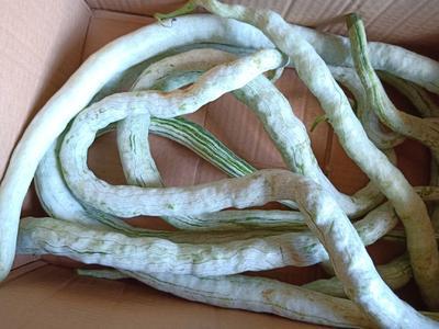 湖南省怀化市鹤城区蛇形丝瓜 65cm以上