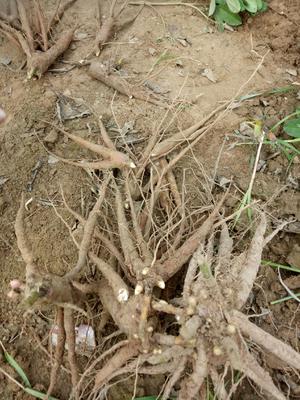 山东省菏泽市牡丹区占地芍药 2cm以下 0.5米以下
