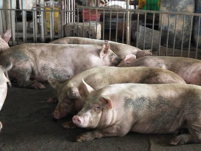 广西壮族自治区南宁市宾阳县广西豪猪 100斤以上