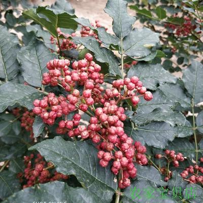 青海省海东市民和回族土族自治县花椒种子