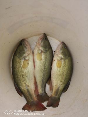 四川省南充市营山县加州鲈鱼 人工养殖 0.5公斤以下