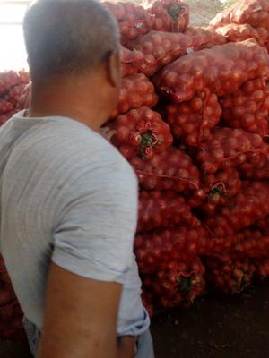 辽宁省锦州市太和区紫菊芋