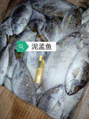 广西壮族自治区北海市海城区泥猛鱼 野生 0.5公斤以下
