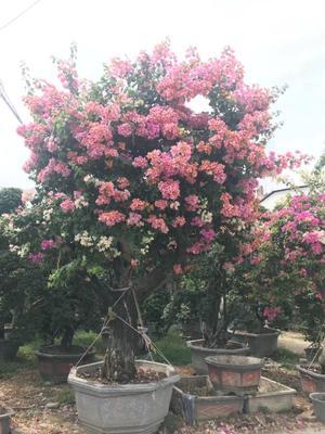 福建省漳州市龙海市绿樱三角梅 2~2.5米