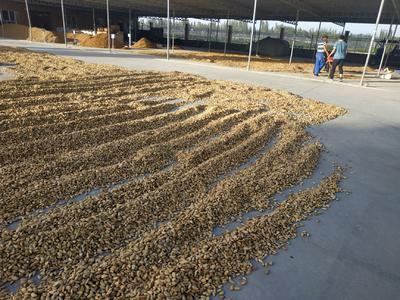 新疆维吾尔自治区喀什地区莎车县巴旦木 1年 带壳