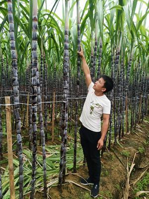 黑皮甘蔗 2.5 - 3m 6 - 8cm