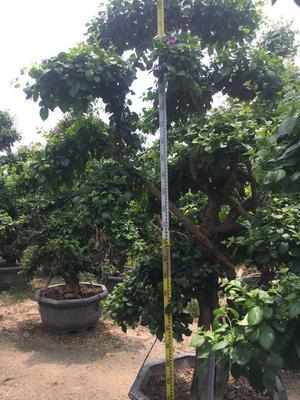福建省漳州市龙海市紫花三角梅 2.5米~3米