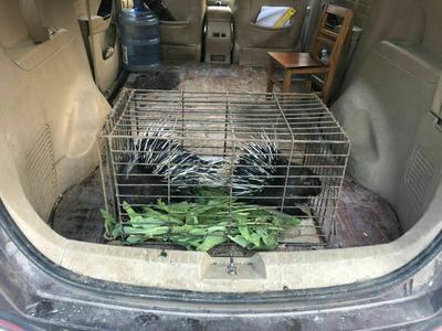 广西壮族自治区桂林市永福县桂林豪猪销售 20-30斤