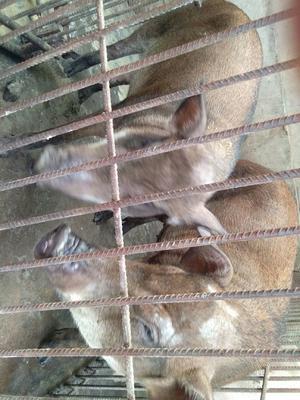 安徽省亳州市蒙城县特种野猪 100斤以上 统货