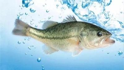 广东省佛山市顺德区加州鲈鱼 人工养殖 0.5公斤以下