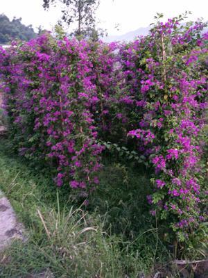 四川省宜宾市翠屏区紫花三角梅 2.5米~3米