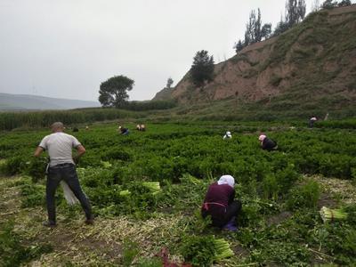 宁夏回族自治区中卫市海原县宁夏西芹 50~55cm 露天种植 1.5~2.0斤
