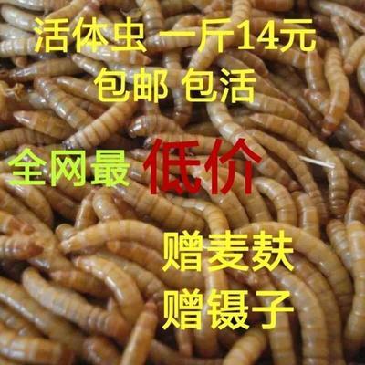 河北省保定市唐县黄粉虫