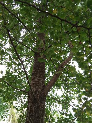 安徽省宣城市宁国市银杏实生树