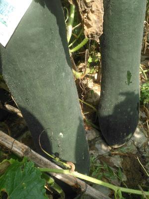 广西壮族自治区桂林市兴安县吊冬瓜 15斤以上 黑皮